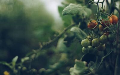 The Tomato Thief